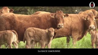 The Limousin breed