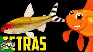 Tetra Schools. Lets talk Tetras the Live Stream.