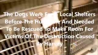 Hurricane Harvey Dog And Cat Rescue Run - Little Shelter