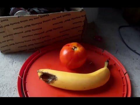 Bika szalagféreg maximális mérete