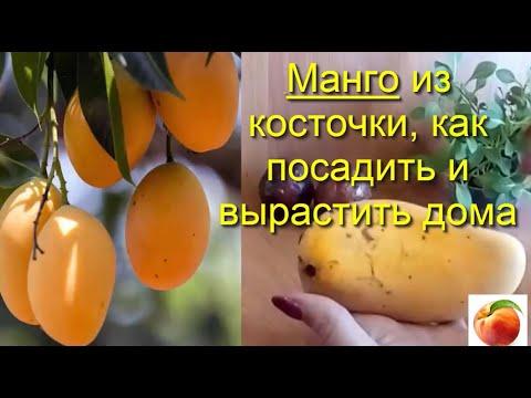 Манго из косточки  Как посадить дома Вырастить mango Уход Советы  Особый способ  сделай так Петуния
