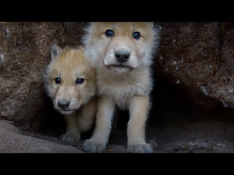 These Adorable Wolf Cubs Will Brighten Your Day