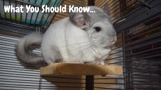 Watch THIS Before Getting A Chinchilla