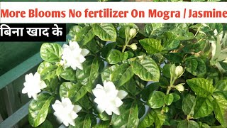How to Get More Blooms On Jasmine / Mogra Without Fertilizer    With Uodats