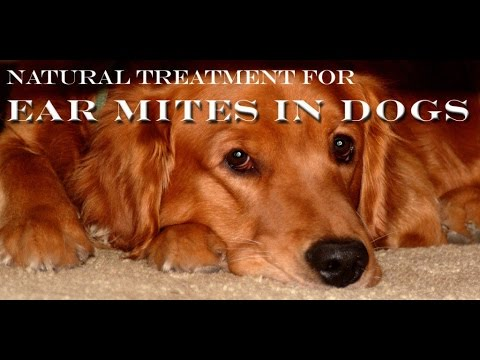 Video Natural Home Remedy To Treat Ear mites For Dogs