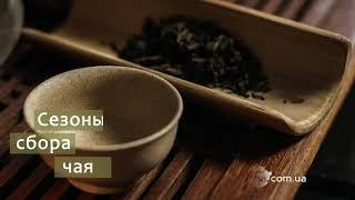 Сезоны Сбора Китайского Чая
