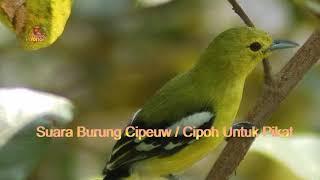 Suara Burung Cipoh/sirtu Cocok Buat Mancing Jantan