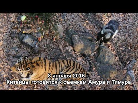 Китайцы готовятся к съёмкам Амура и Тимура - Приморский Сафари Парк