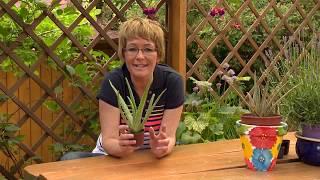 Orvosi aloé (Aloe vera) gondozása és szaporítása - Kertbarátok - Kertészeti TV - műsor