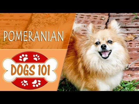 Dogs 101 - POMERANIAN - Top Dog Facts About The POMERANIAN