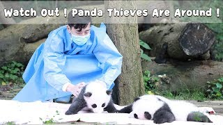 Watch Out! Panda Thieves Are Around! | iPanda