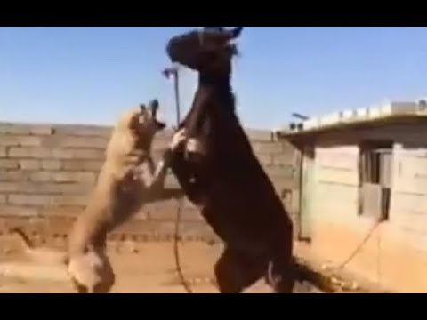 Kangal Dog Attacks A Horse!!!