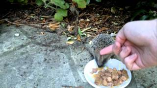 Friendly Baby Hedgehogs
