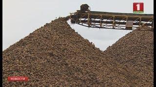 Больше 5 миллионов тонн составит урожай сахарной свёклы