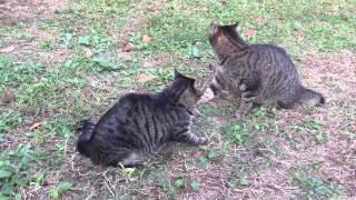 【キジトラ地獄】メス猫同士のリアルキャットファイトを眺めてみた the 'real' Catfight By Two Female Brown Tabby