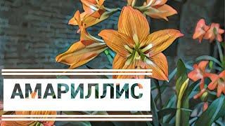 Амариллис. Гороскоп для растений. Талисман СТРЕЛЬЦА.