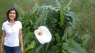 Dividing Calla Lily With Actual Results
