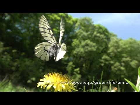 庭のウスバシロチョウ  Parnassius citrinarius in my butterfly garden