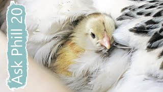 Ask Phill 20 - How to Raise Chicks with a Broody Hen