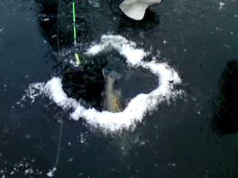 Kæmpe rødding fanges ved isfiskeri