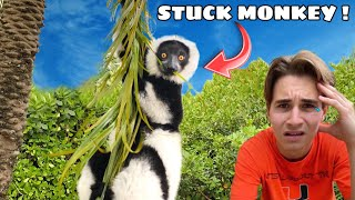 FLUFFY LEMUR GETS STUCK IN TREE WHILE PLAYING! WILL WE GET HIM DOWN ?!