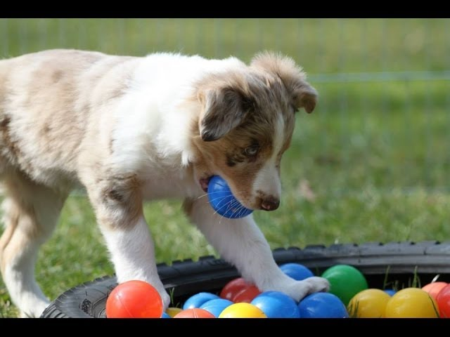Socializing Puppies to Surfaces and Sounds - clicker dog training