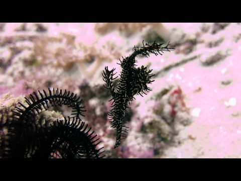 Harlequin ghost pipefish in Indonesia