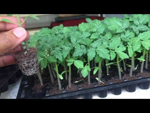 Ready to plant Seedlings. New technology in vegetable farming. start right.