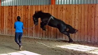 Lunge A Stallion For The First Time! Friesian Horse.