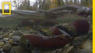 Millions of Salmon Return Home