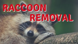 How I Got Rid of a Raccoon - Raccoon Removal DIY