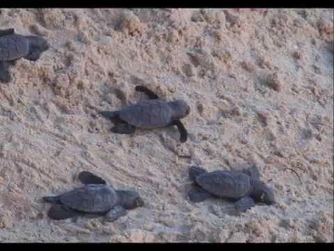 Barbados Turtle Hatchling Release