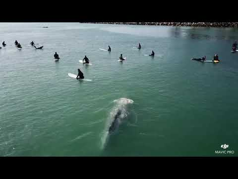Grey Whale Swims Directly Beneath A Crowded Lineup of Surfers in California