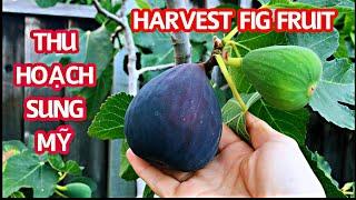CÂY SUNG MỸ   Thu Hoạch Trái Sung Mỹ   FIG TREE   HARVEST FIG FRUITS