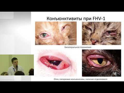 Сергей Бояринов - Офтальмологические осложнения вирусных и бактериальных инфекций у кошек