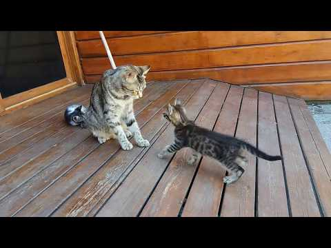 Mom cat cleaning her kitten by force