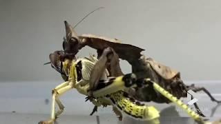faze tari insecta calugarita