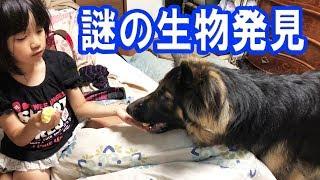 事件です!何か居る?シェパード犬と孫娘German Shepherd Dog