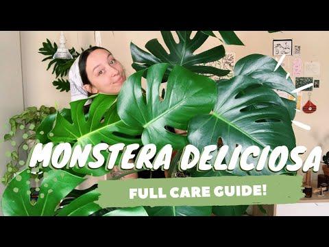 , title : 'MONSTERA DELICIOSA CARE + PROPAGATION | indoor swiss cheese plant care