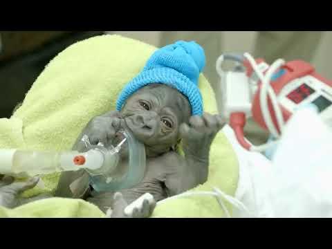 Una bebé de gorila nació en el Zoo de San Diego y es la sensación