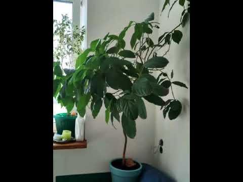 как вырастить растение Авокадо из косточки в домашних условиях