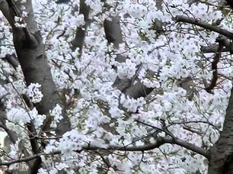 桜が満開の南大野小前 その1 The beautiful cherry tree bloome