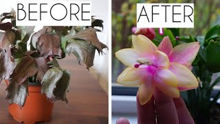 Christmas Cactus turning purple or droopy? Quick and easy way to get your succulent plant back!