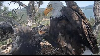 Big Bear Eagles ~ *SIMBA Fierce EPIC Fish Battle*!  Food Fight, Steals Tug-o-War w/ Shadow 8.3.19
