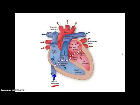 Przepływ krwi przez serce