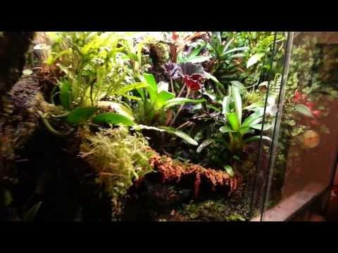 Poison dart frogs Dendrobates Azureus and Epipedobates tricolor tank