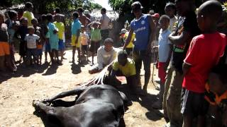 preview picture of video 'Slaughtering a zebu in Madagascar - Graphic'