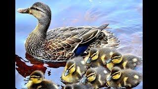 Curious ducks talking - duck sounds