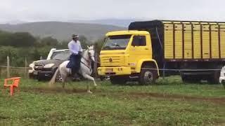 Equídeo Equino Mangalarga Marchador Não Registrado Garanhão Tordilha Marcha Batida - e-rural Imagens
