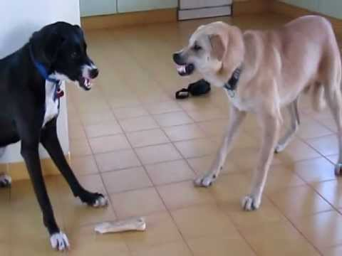 Dog VS. Other Dog (My Two Dogs Fighting Over A Bone)